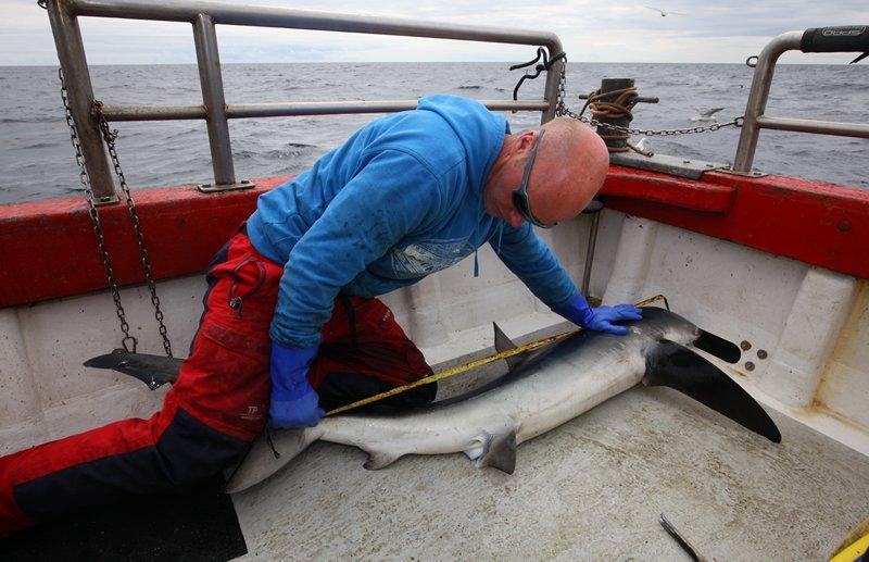Meerdere haaien werden gemeten en van een merkteken voorzien.