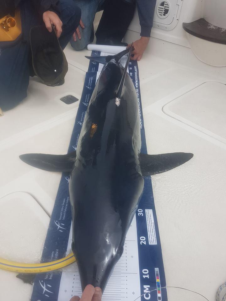 De vis wordt gemeten terwijl er vers zeewater door de kieuwen gepompt wordt zodat de makreelhaai weer zonder problemen teruggezet kan worden.