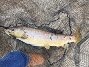 De indrukwekkende forel pakte kunstaas dat bedoeld was voor snoek op Blessington. #CPRsavesfish