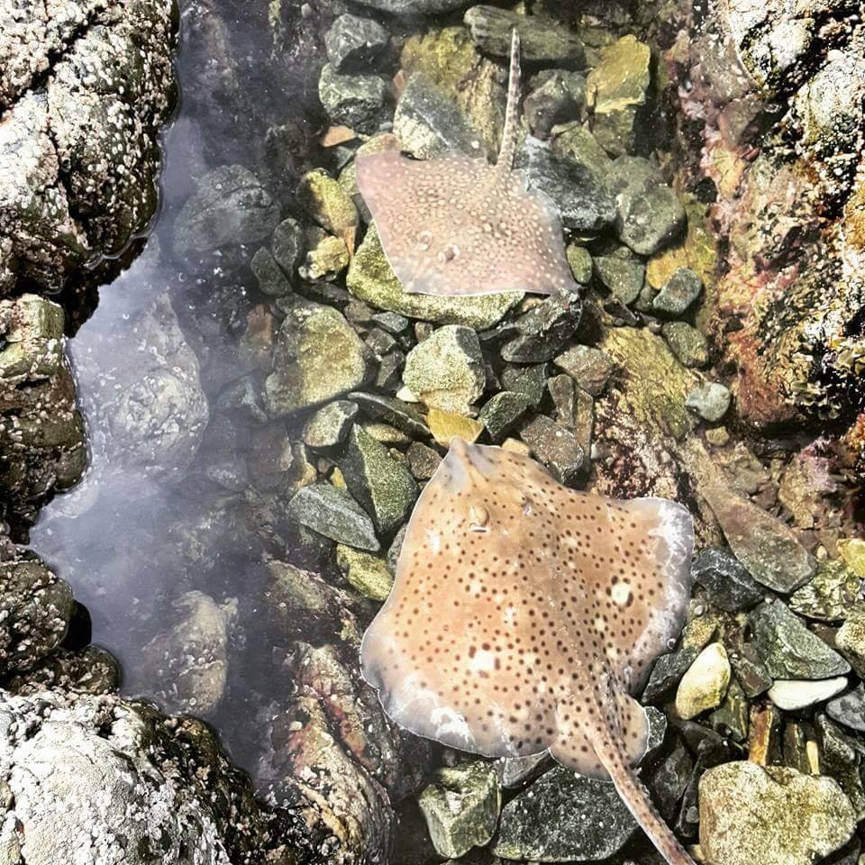 Twee soorten roggen klaar om teruggezet te worden. #CPRsavesfish