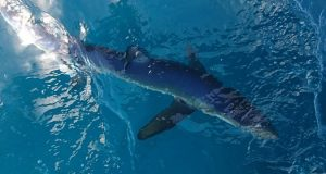 Blauwe haai in het water.
