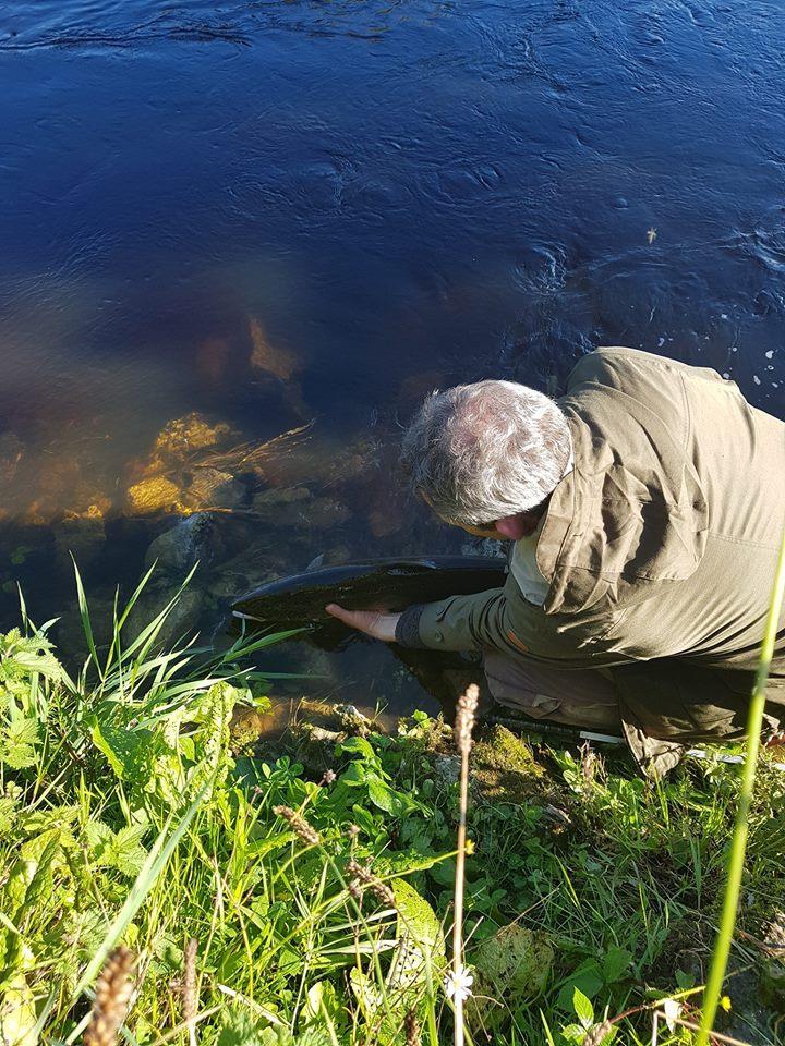 Een zalm wordt teruggezet op de Ballyduff Bridge Fishery. #CPRsavesfish